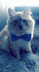 Kot z kokardą