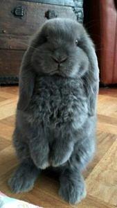 Proszący królik