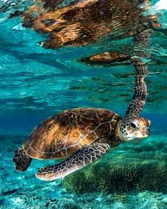 Podwodny żółwik