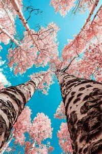 Różowe drzewa