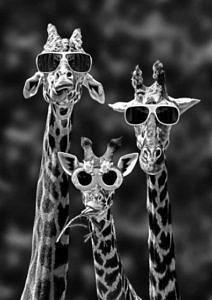 Wyluzowane żyrafy w okularach