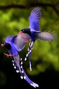 Tajwańskie Błękitne sroki