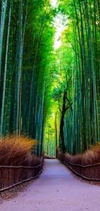 Las bambusowy w Kioto, Arashiyama